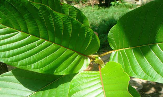 Read more about the article ใบกระท่อม ทำความรู้จักกับพืชเศรษฐกิจใหม่